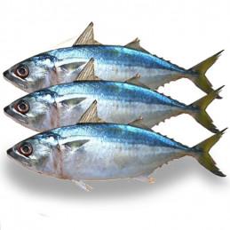 Mackerel Indian, 1kg